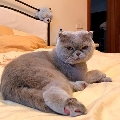 груминг шотландской кошки
