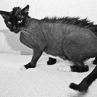 кот с ирокезом