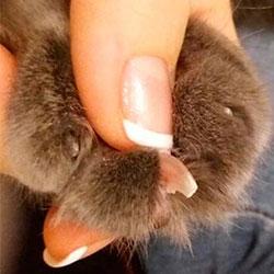 фото стриженных когтей кошки