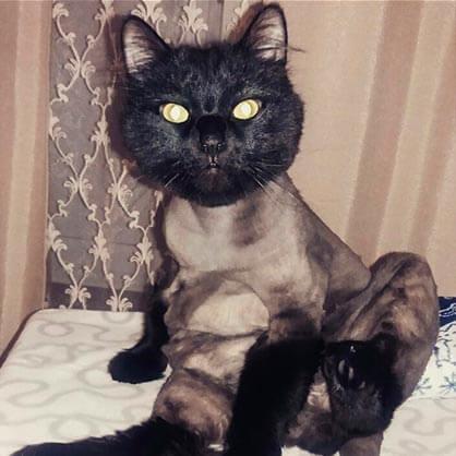 стрижка агрессивной кошки